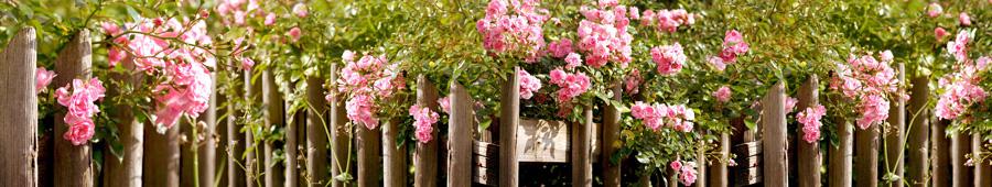 Скинали - Пышные розочки на заборе в солнечный день