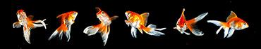 Скинали - Аквариумные рыбки