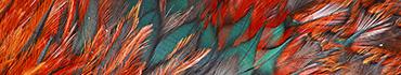 Скинали - Необычные перья жар птицы