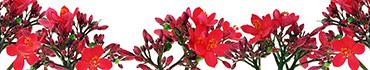 Скинали - Бутончики мелких красных цветов