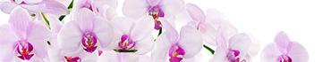 Скинали - Бело-фиолетовые лепестки орхидеи