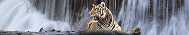 Скинали - Тигр на фоне водопада