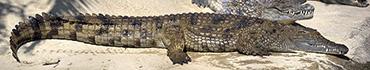 Скинали - Крокодилы греются на солнышке