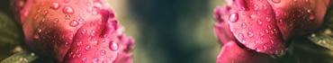 Скинали - Утренняя роса на пионах