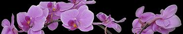 Скинали - Фиолетовые орхидеи на черном фоне