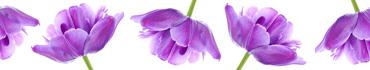Скинали - Фиолетовые тюльпаны на белом фоне