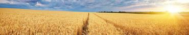 Скинали - Поле пшеницы