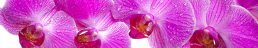Скинали - Розовая орхидея крупным планом