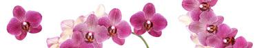 Скинали - Красивые орхидеи на белом фоне