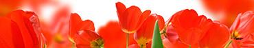 Скинали - Краснющие тюльпаны
