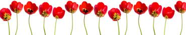 Скинали - Роскошные красные тюльпаны на белом