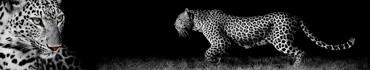 Скинали - Прекрасный леопард на черном