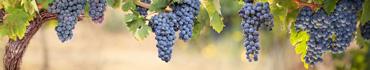 Скинали - Синий виноград в теплом дневном свете