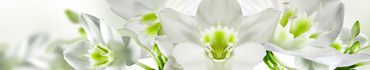 Скинали - Белые орхидеи с зелеными стебельками на светлом фоне
