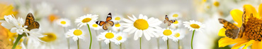 Скинали - Бабочки в ромашках
