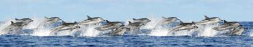 Скинали - Стая прыгающих дельфинов