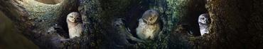Скинали - Пятнистые совята в дуплах деревьев, коллаж