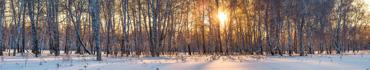 Скинали - Лучи заходящего солнца в березовой роще