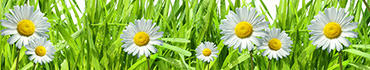 Скинали - Неподражаемые солнечные ромашки