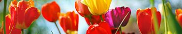Скинали - Радужные тюльпаны