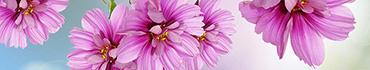 Скинали - Розовые герберы на голубом фоне