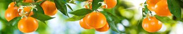 Скинали - Сочные мандарины на ветках