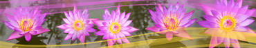 Скинали - Розовые лотосы на воде