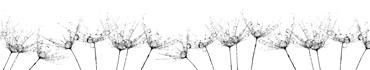 Скинали - Семена одуванчиков на белом фоне