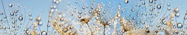 Скинали - Капли росы на семенах одуванчика
