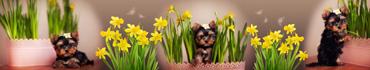 Скинали - Милые щенки в окружении желтых нарциссов