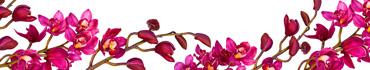 Скинали - Яркие пурпурные орхидеи на белом фоне