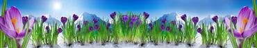 Скинали - Цветущие крокусы на фоне Альпийских гор в Италии
