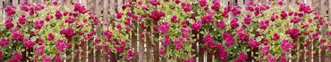 Скинали - Роскошные, плетущиеся на заборе розы