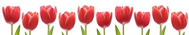Скинали - Красные тюльпаны
