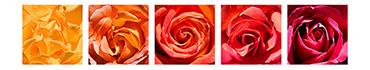 Скинали - Красивая композиция из роз