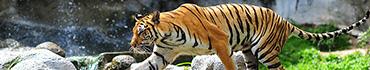 Скинали - Тигр на охоте